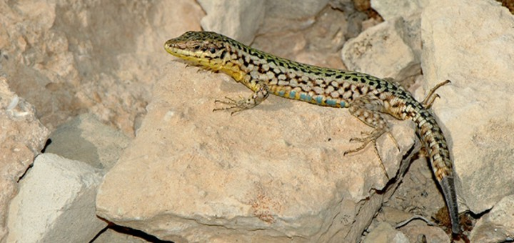 The Maltese Wall Lizard