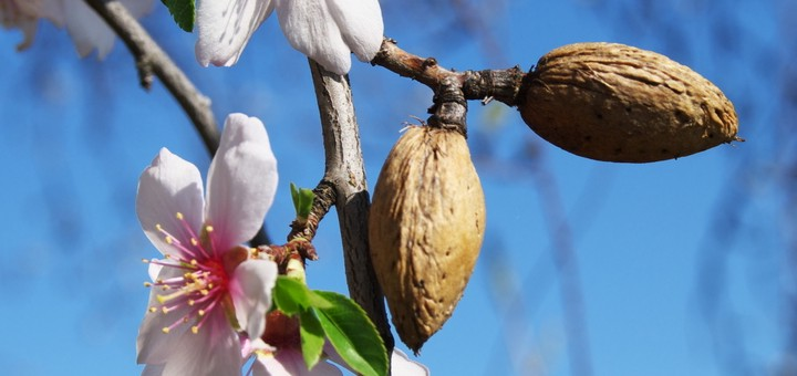 Almond tree, Malta.